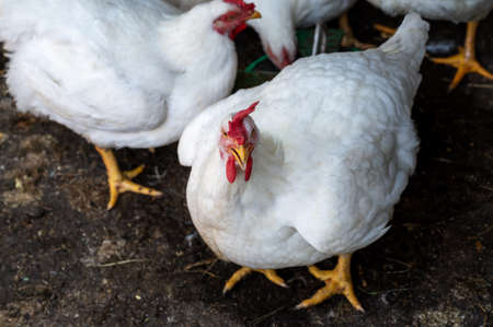 young white hens with red scallop on a bird farm. animals are raised for meat and feathers. chicken egg production