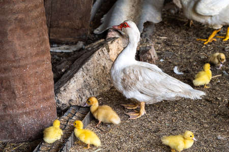 White mom duck with little yellow ducklings near the grain feeder. breeding birds in the countryside