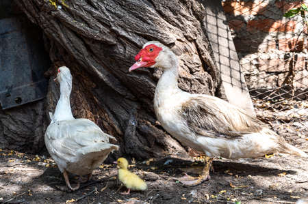 White duck dad and mom with a little yellow duckling on a farm. breeding of birds for meat in the countryside. duck family Stok Fotoğraf