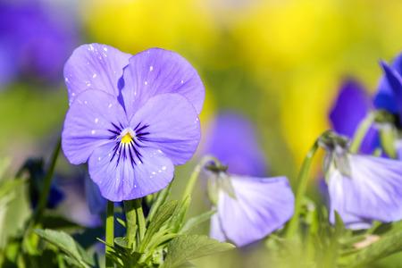Spring viola in park 1 Stock Photo