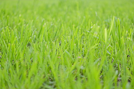 Texture of a lush green grass