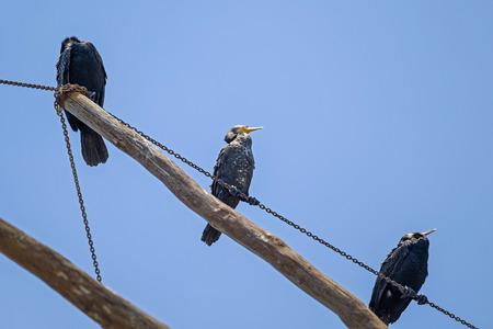 Black birds on a wooden pole 2