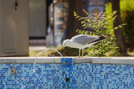 The gull drinks from the fountain 2