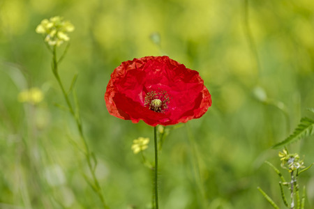 Red poppy flower close-up view 5 Stock Photo
