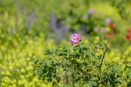 Wild rose bush 3