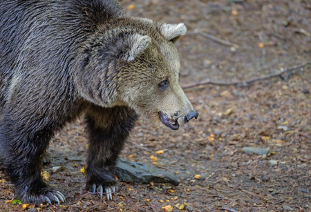 Wild bear portrait 2 Stock Photo