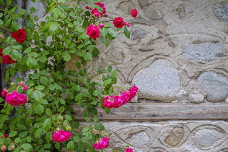 Red roses bush on the wall Stock Photo