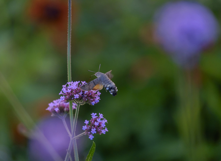 Butterfly hummingbird (Sphingidae) collects nectar from purple flowers 2