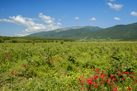 Valley of roses in bulgarian mountains 1 Stock Photo
