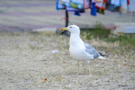 Seagull walks on the ground