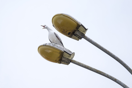 Yelling seagull on the lamp 1 Stock Photo