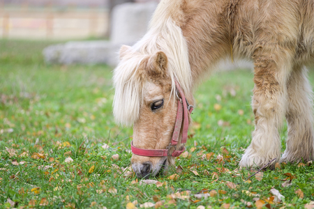 Little horse eating grass in park in autumn Stock Photo