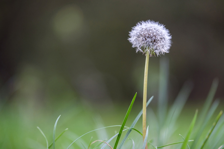 White dandelion head in park Stock Photo