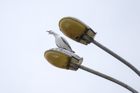 Yelling seagull on the lamp 2