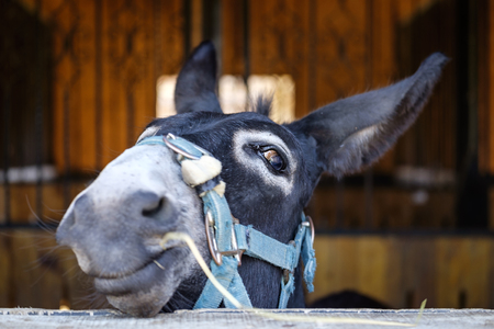 Funny donkey face on stable Stock Photo