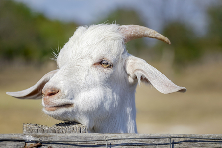 Beautiful portrait of nanny-goat 4