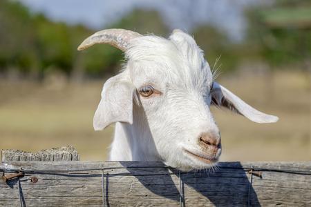 Beautiful portrait of nanny-goat.