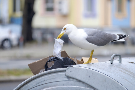 Seagull is looking for food in the garbage Banque d'images