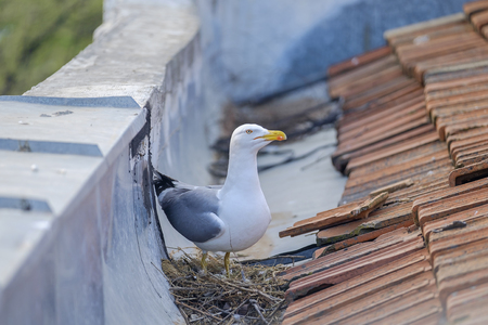 Mother seagull is sitting on the nest 3 Banque d'images