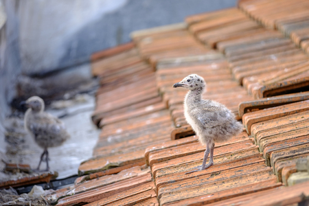 Little gull chick on a tiled roof 2