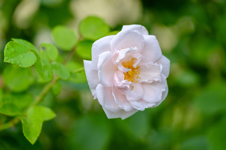 A beautiful white rose close up view