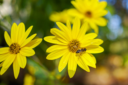 Bee collects nectar on yellow flowers and plants in garden 4