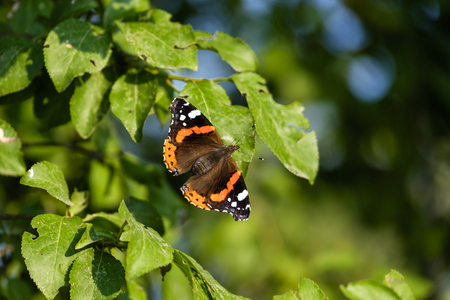 Orange butterfly (Aglais) on tree close-up 8