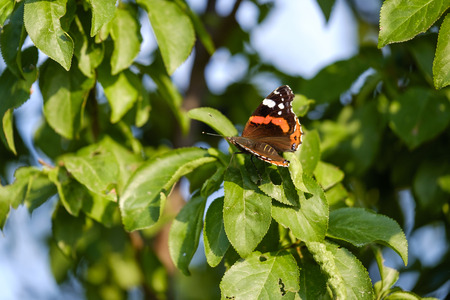 Orange butterfly (Aglais) on tree close-up 2