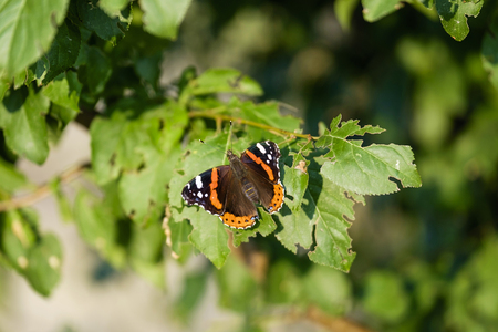 Orange butterfly (Aglais) on tree close-up 6