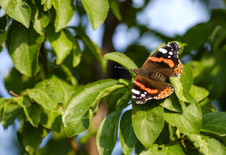 Orange butterfly (Aglais) on tree close-up 4