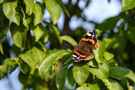 Orange butterfly (Aglais) on tree close-up 3