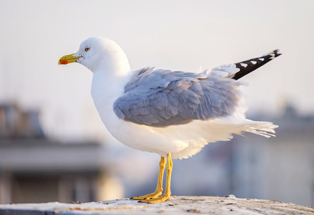White seagull sits on the city roof close-up 1 免版税图像