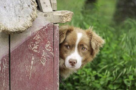 Guard Dog Near His Doghouse