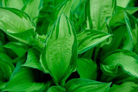 green leaves background. large green leaf. natural background 스톡 콘텐츠