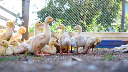 flock of ducklings. ducklings on the farm. birds in the pen. little ducks