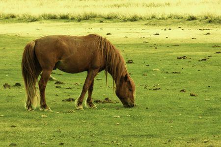 Mongolian horse Stock Photo