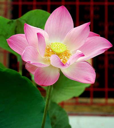 Lotus Flower 版權商用圖片