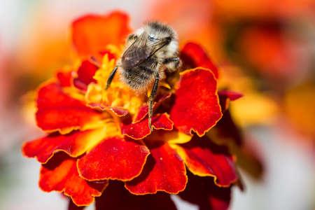 bumblebee: Bumblebee on red yellow flower