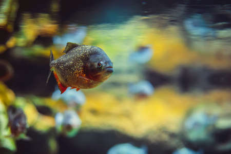 freshwater aquarium plants: Piranha fish in the water in aquarium