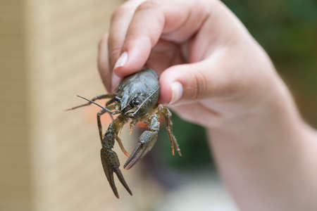 alive: Nature Concept. Womans hand holds alive crayfish. Stock Photo
