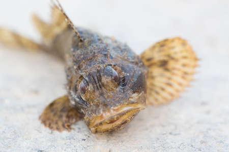 scorpionfish: Black scorpionfish Scorpaena porcus. Wild life animal. Stock Photo