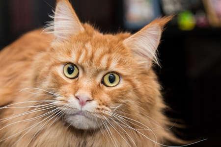 Cat Maine Coon close up on dark background.
