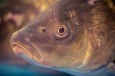 Underwater shot of the carp fish close up.