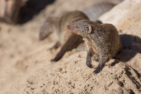 Close up view of the yellow mongoose group on sand. Stock Photo