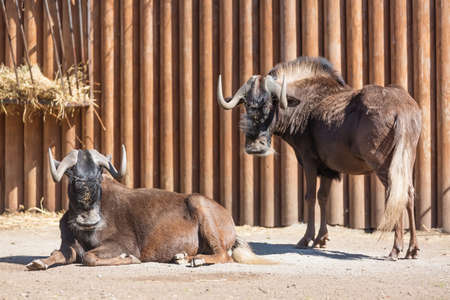 Black wildebeest Connochaetes gnou group, also known as the white-tailed gnu at the zoo. Stock Photo