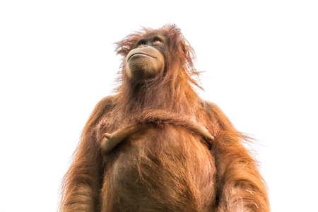 Oranje die orangoetan of pongo pygmaeus op witte achtergrond wordt geïsoleerd Stockfoto