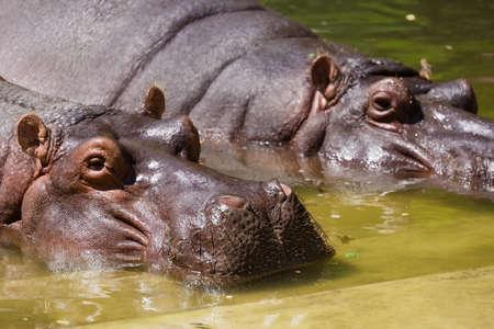 Hippopotamus couple resting in the water in zoo.