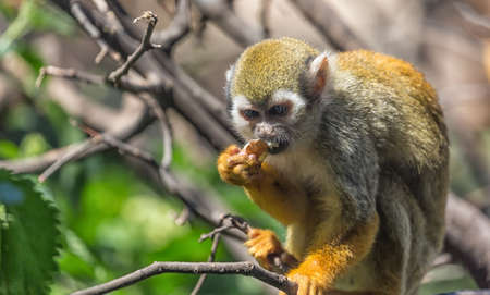 Close up portrait of squirrel monkey Saimiri sciureus sitting and eating on a tree branch. Stock Photo