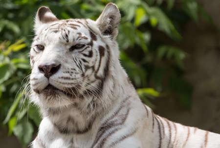 White bengalensis tiger animal close up portrait.