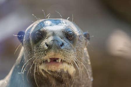 Northern fur seal, or sea cat Callorhinus ursinus pinniped mammal close up portrait.